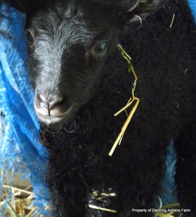 Kolfinna's black grey ewe lamb...
