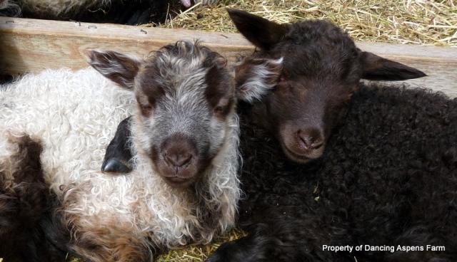 Icelandic Lamb Buddies...