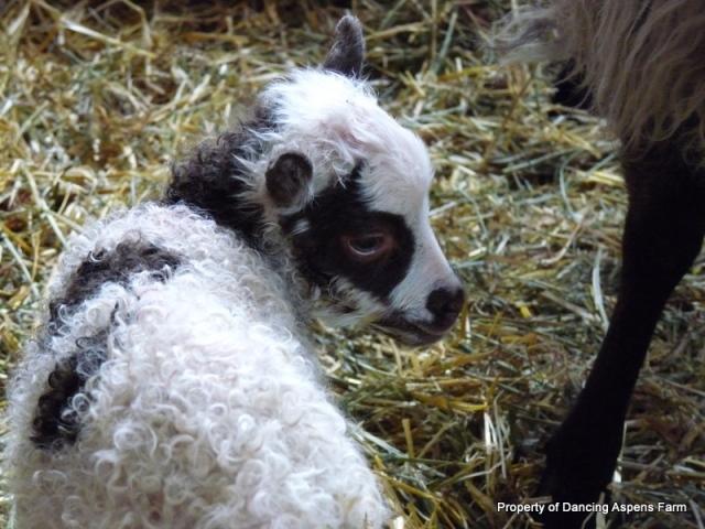 Dyr's ewe lamb, a moorit grey spotted ewe.