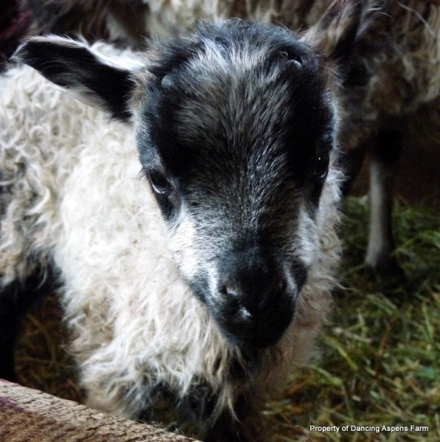 Bronco-The other horned black badgergace ram...