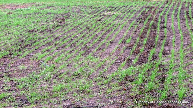 Winter Wheat up and going...