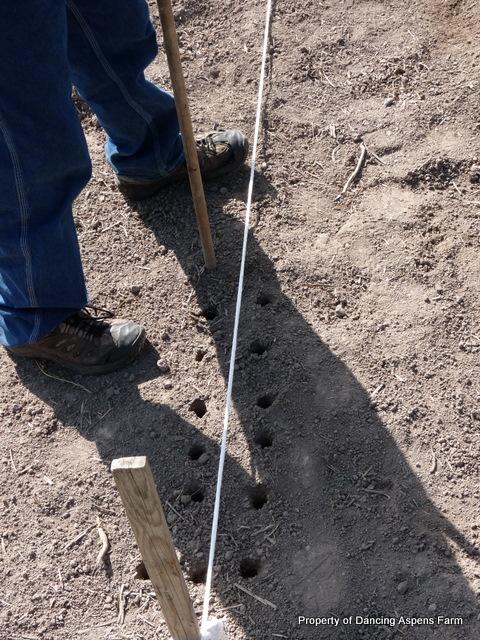 Sawyer planting onions...