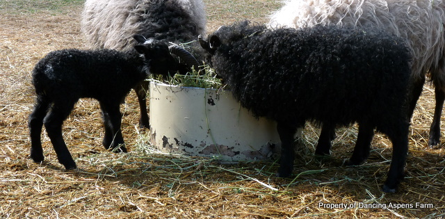 Here's a comparison picture of the biggest and smallest lambs...