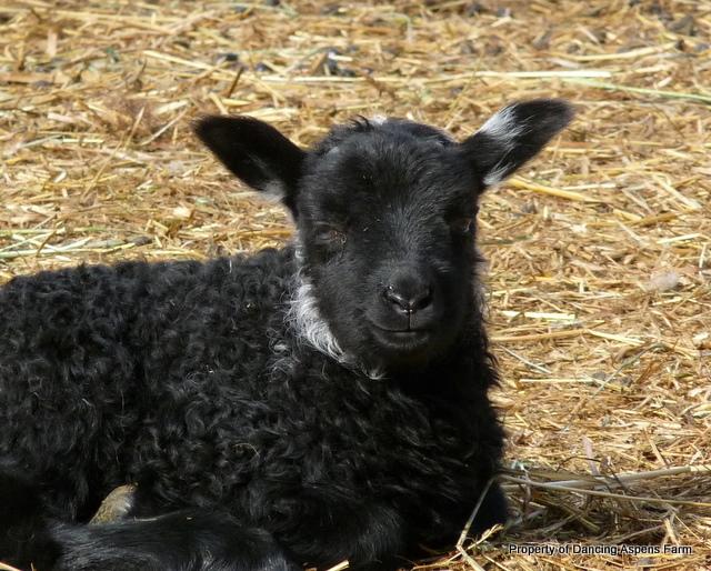 Smiling lamb...