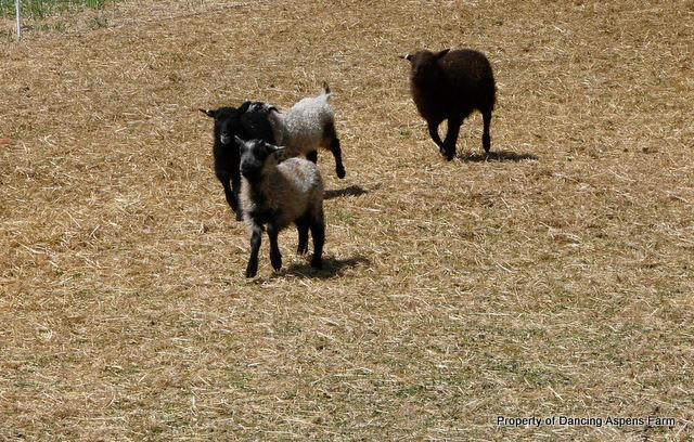 Lambs racing off dry lot to...