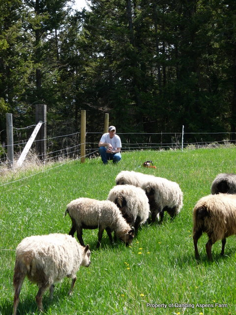 Mark watching sheep, after fixing the fence.