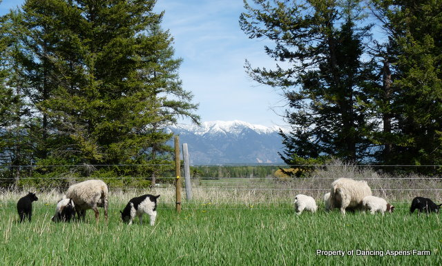 Sheep on pasture...