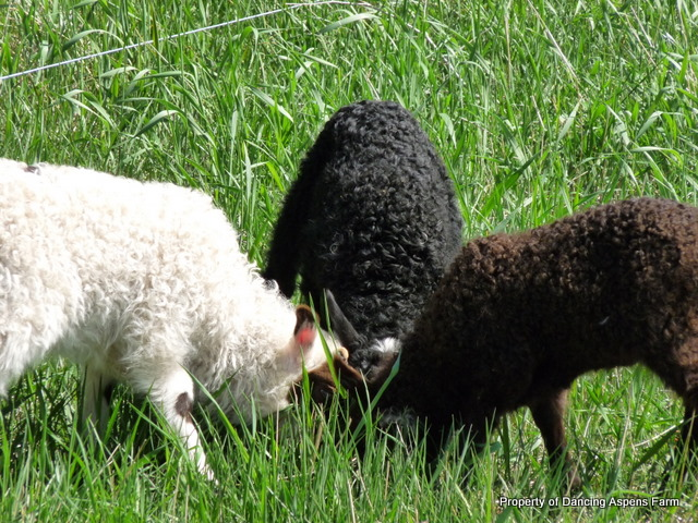 One of each color lamb enjoying grass.