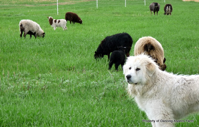 Dugur watching the flock...
