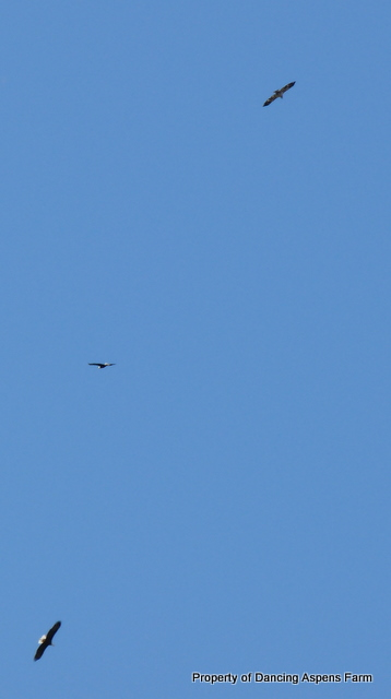 An assortment of Eagles circling above...we had four all at once yesterday!