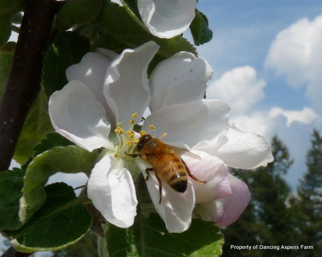 One of the honey bees giving us a double harvest...