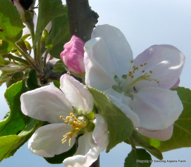 Pretty apple blossoms...