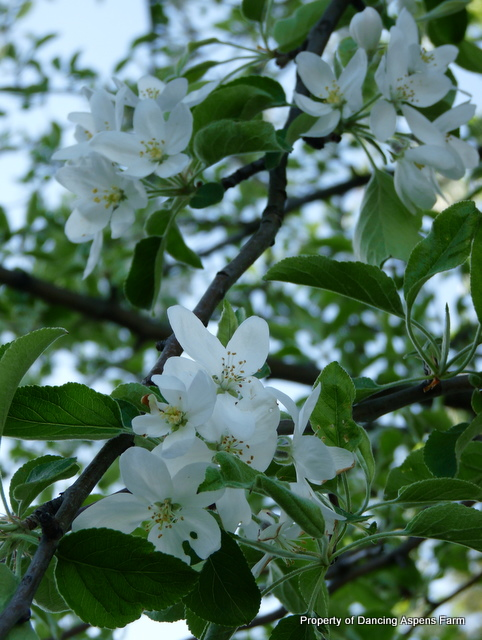 Crab apple blossom...