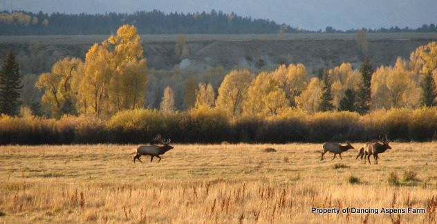 A couple of Bull elk with a cow a few years ago in the fall...