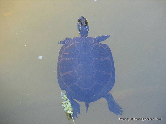 Another Painted Turtle...