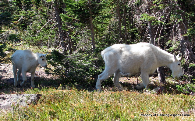 A Rocky Mountain Goat kid and nannie in Glacier National Park...