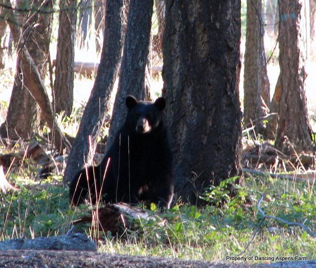 Momma Black Bear...