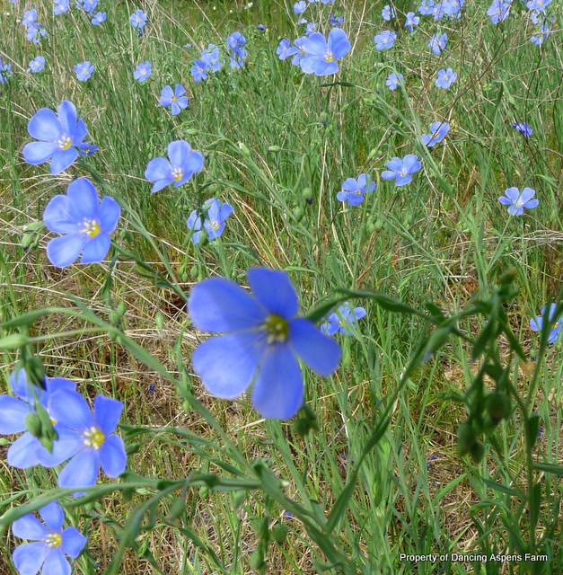 BLue Flax Stand...