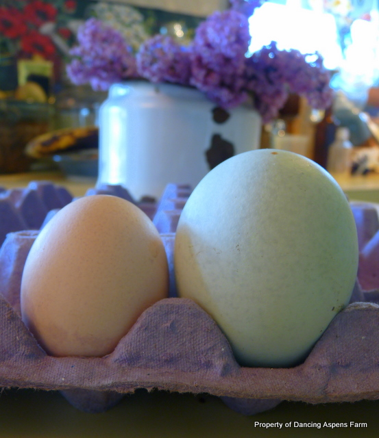 A normal sized chicken egg and the huge Araucana egg...