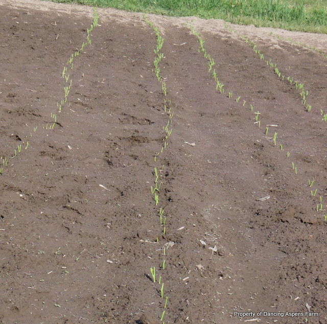 Sawyer's corn is up! Now if the pheasant would stay away...