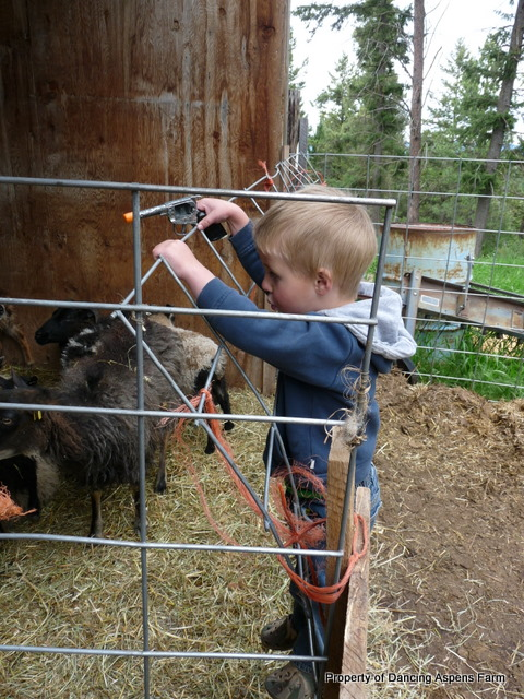 Teigen shooting the sheep!