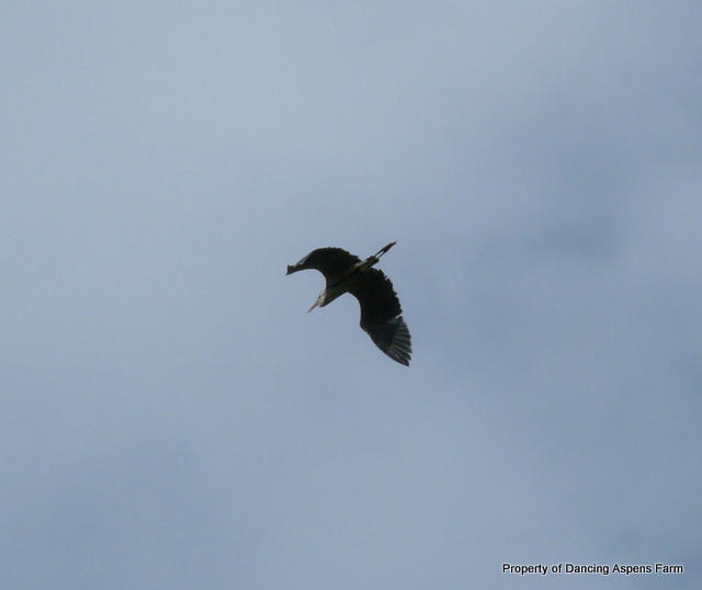 We even had a Sandhill Crane fly over!  I love how they look they look like dinosaurs flying over!