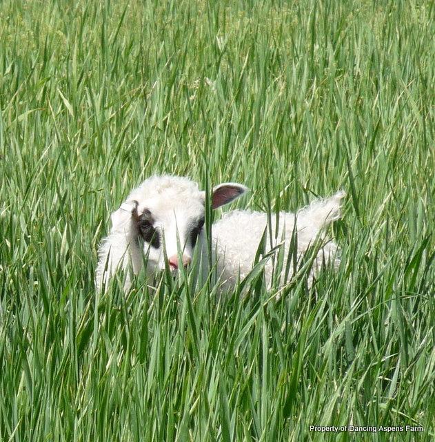 Lambs on pasture...