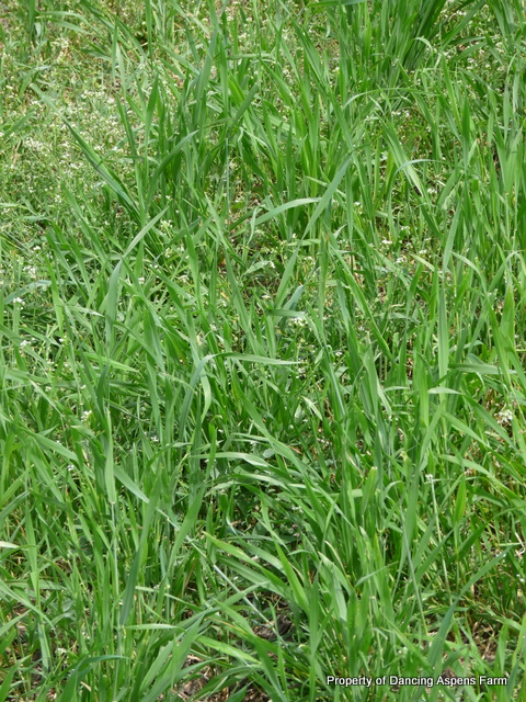 Winter Wheat growing back in...