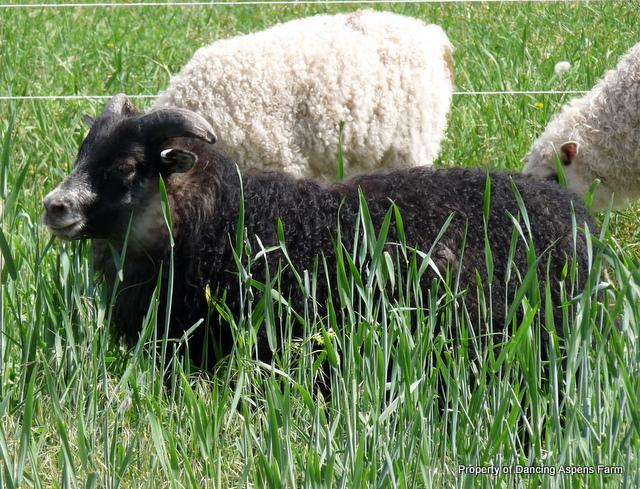 Beautiful lambs...