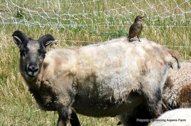 A Brown Headed Cowbird hitching a ride on Auðráð...