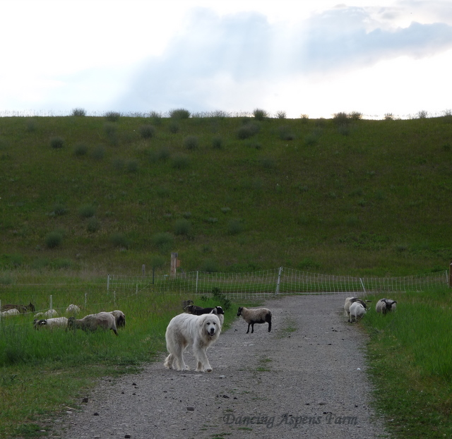 The sheep all moved...