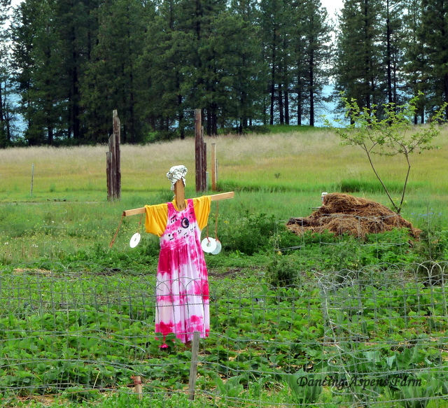 Our scarecrow dancing amongst the strawberries...