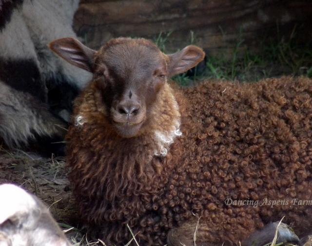 Breve- a polled moorit ewe lamb