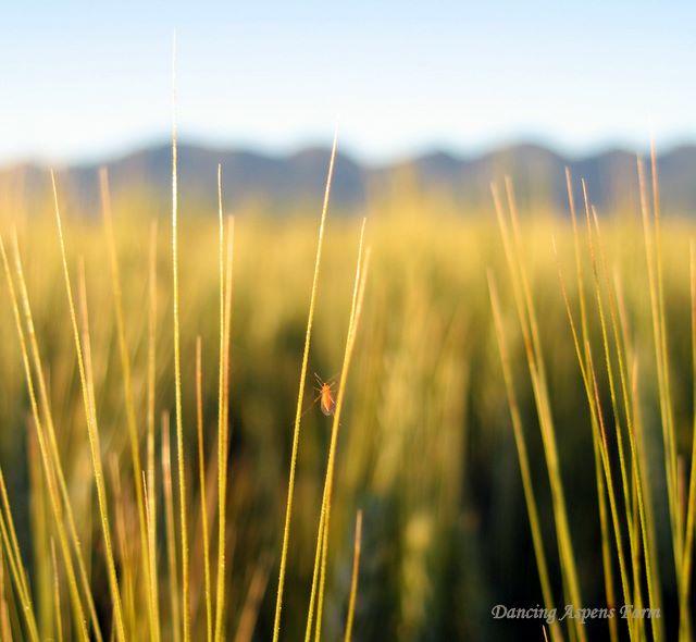 More Orange Wheat Blossom Midge on wheat awns...