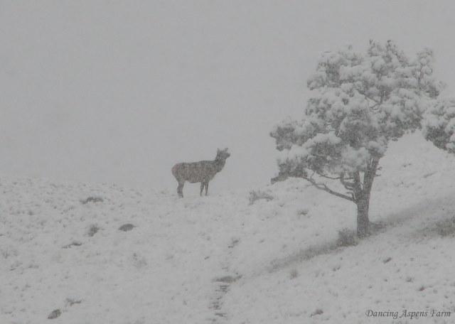 Cow elk in snow storm...
