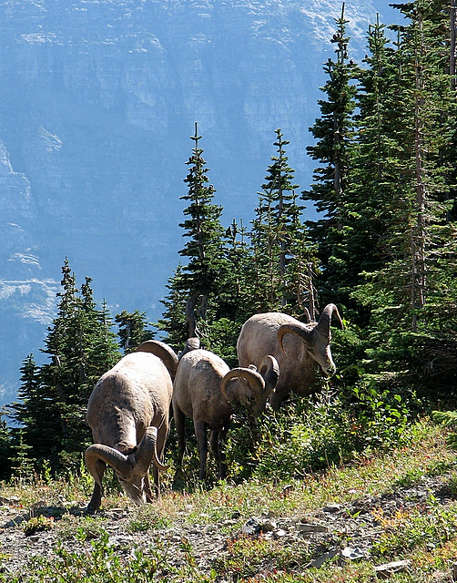 Big Horn Sheep in Glacier Park