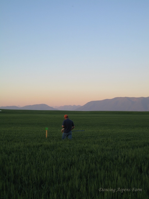 Checking traps and sweeping-look at that field!