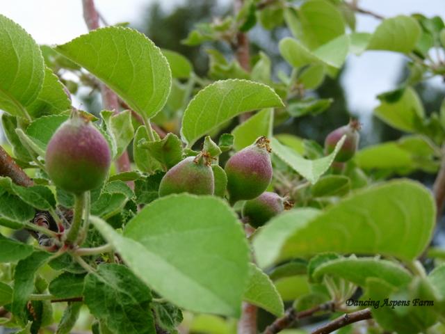 Little Apples...
