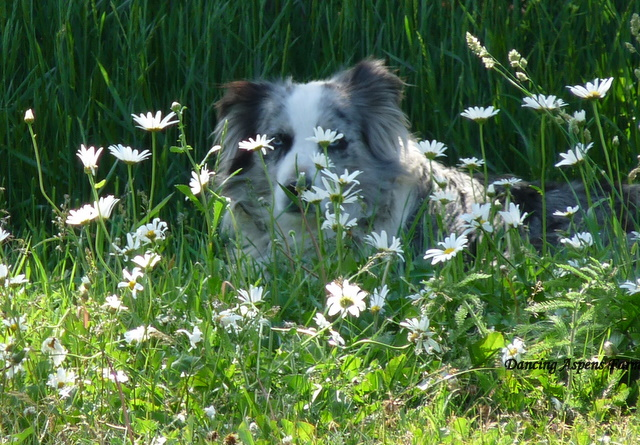 Bellah keeping cool in the shady daisies...