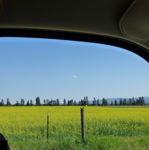 A pretty canola field that we passed by...