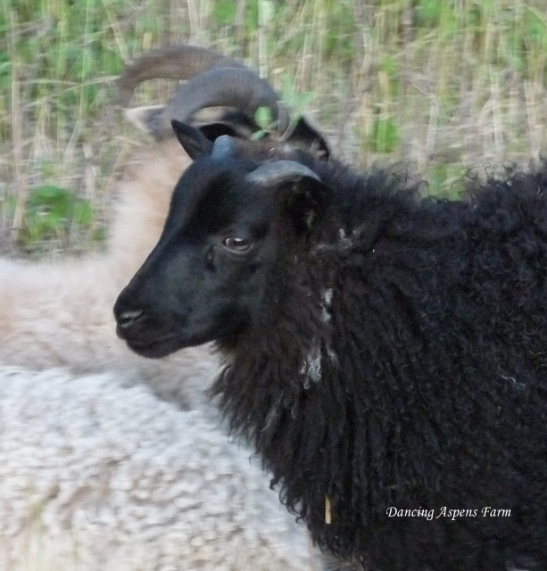 Bistro is a black horned ram lamb with flashing...