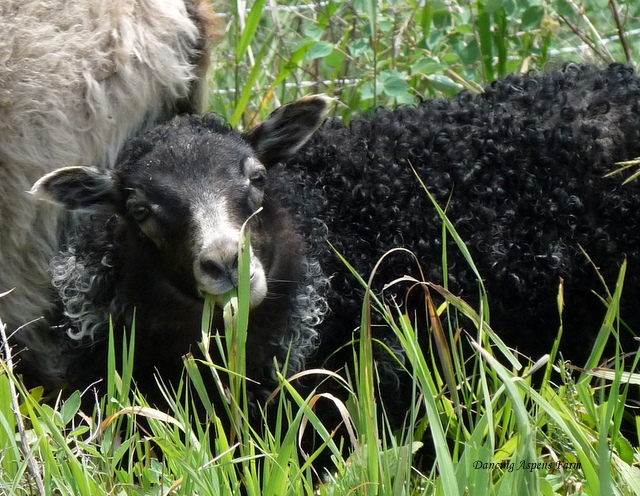Briar is a black grey ewe lamb...