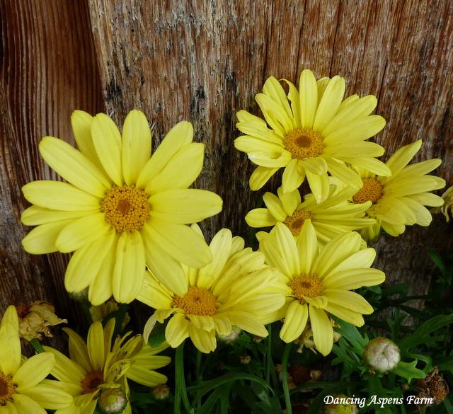 Sunny Yellow Daisies