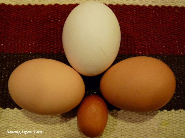 My dad found this tiny egg in his nesting box, the three bigger eggs are normal size!