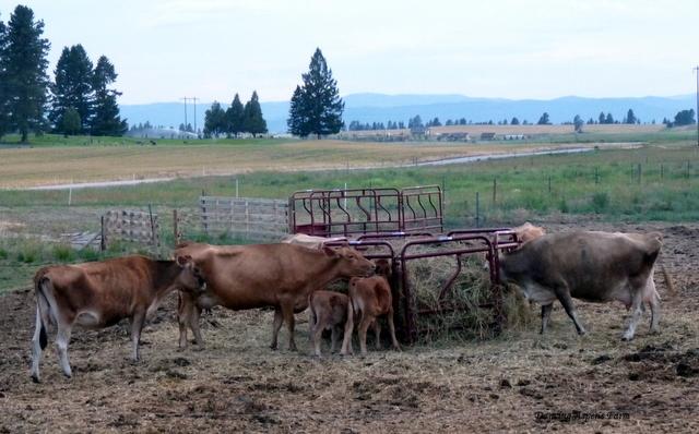 A handsome herd of milk cows...