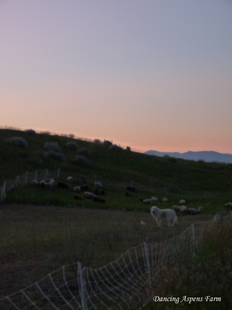 Dugur and Sheep at Sunset last night...