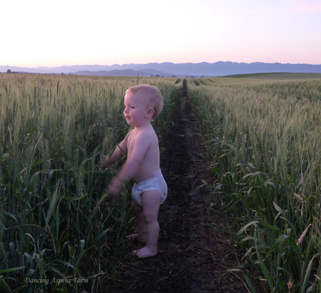 Zayne loved to feel the tops of wheat...