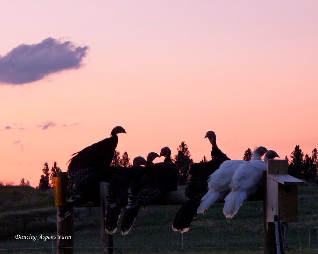 The turkeys roosting on a brace post...