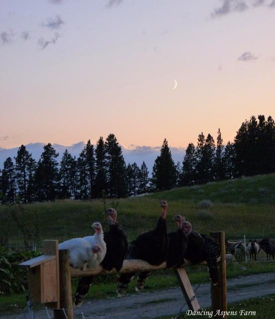 Turkeys at moonlight...