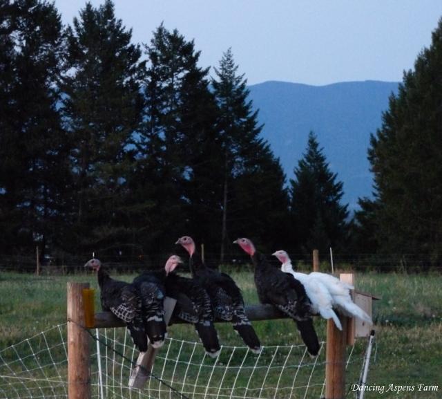 Roostin' turkeys...